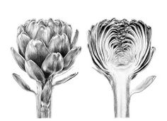 Prints for sale: artichoke study