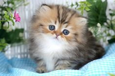 Golden Persian Kittens http://dollfacepersiankittens.com/colors/golden-kittens/