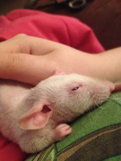 Hairless Dumbo Rat, They are Wonderful Pets                              …