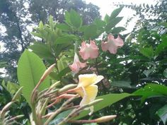Plumeria 'Aztec Gold' & Brugmansia 'Isabella' - In the Gardens Today - 7-02-2013