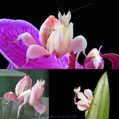 Orchid mantis | Save Our Green