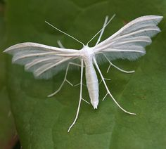 white plume moth (pterophorus pentadactyla) - Anita Smith Home Cool Insects, Flying Insects, Bugs And Insects, Beautiful Bugs, Beautiful Butterflies, Amazing Nature, Beautiful Creatures, Animals Beautiful, Mantis Religiosa