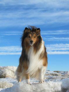 Ridiculously Photogenic Shetland Sheepdog http://ift.tt/297VMyN