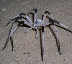 Scientists have unearthed a completely new species of spider hiding in sand dunes on the Israel-Jordan border. With a legspan that stretches inches, the spider, called Cerbalus aravensis, is the biggest of its type in the Middle East. Spider Species, Giant Spider, Spider Webs, Spider Costume, Homemade Halloween Decorations, Cool Bugs, Bitsy Spider, Jumping Spider, Wild Creatures