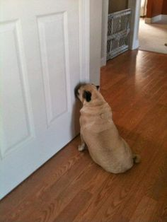 Pug can hear the garage door