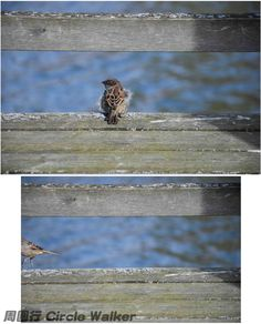 It jumps away. 跳走了. Helsinki, Finland芬蘭, 赫爾辛基 . More on: https://www.circlewalker.me/sparrow .  #歐洲 #Europe #旅遊 #Travel #周圍行 #CircleWalker #攝影 #photography #art #藝術 #camera #nikon #cs6 #photoshop #Sparrow #麻雀 #雀 #鳥 #bird #fowl #feather #羽 #fly #飛 #Helsinki #Finland #芬蘭 #赫爾辛基