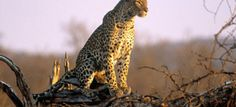 Leopards are the smallest of the big cats — averaging 28 inches (71 centimeters) at shoulder height — but they're also the most successful. They're stealthy hunters and resourceful scavengers, and they can adapt to almost any environment.