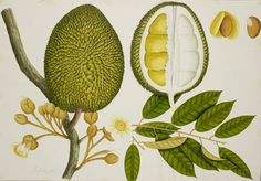 Natural History Drawings from the Collection of Sir Thomas Stamford Raffles. Illustration of durian by A Kow 1822 Science Illustration, Plant Illustration, Vegetable Illustration, Nature Illustrations, Vintage Botanical Prints, Botanical Art, Botanical Drawings, British Library, Exposition Interactive