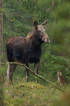 Moose among the pines....