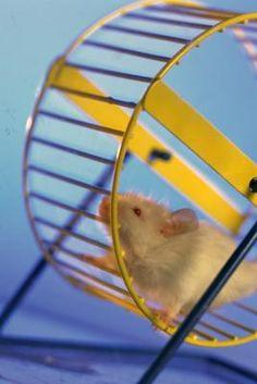 Como tratar pulgas em hamsters de forma segura