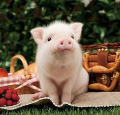 Miniature Pet Pigs – Why Are They Such Popular Pets? – Pets and Animals Teacup Piglets, Baby Piglets, Cute Piglets, Animals And Pets, Funny Animals, Farm Animals, Cute Baby Pigs, Mini Pigs, Pet Pigs