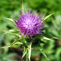 """Dr. Hulda Clark wrote about the benefits and uses of milk thistle in her books """"The Prevention of All Cancers"""" and """"The Cure and Prevention of All Cancers."""" Get her books at http://HuldaClark.com/"""