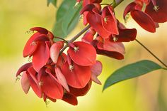 #photos #Ceibo flor nacional #Argentina