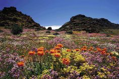 Rugged dry landscapes and nature's bounty as far as the eye can see – Namaqua National Park, South Africa.