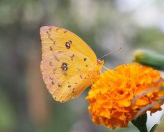 Orange Barred Sulphur (Explore 11/23/13)