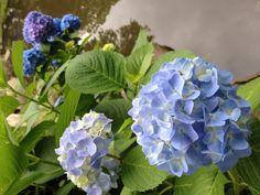 Hydrangea road flower bed