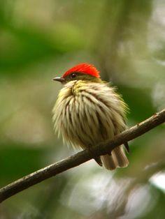 Eastern Striped Manakin (Machaeropterus regulus)
