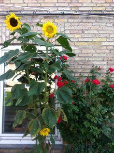 Solsikker og roser