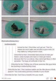 Chinchillas // The Science Side of Tumblr (20 Pics) | Pleated-Jeans.com