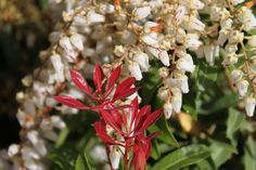 Mountain Fire Japanese Andromeda (Pieris), the feathery white flowers on this evergreen, shade-loving shrub, also called Lily of the Valley, are highlighted by bright red new leaves.