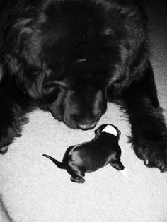 Father and daughter Newfoundland. 2 hours old.