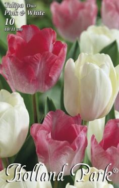 Tulipán Duo- Rózsaszín és fehér tulipán Rose, Flowers, Plants, Pink, Plant, Roses, Royal Icing Flowers, Flower, Florals