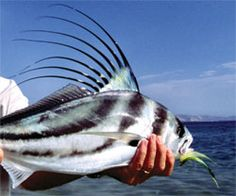 1000 images about rooster fish on pinterest roosters for Rooster fish pictures