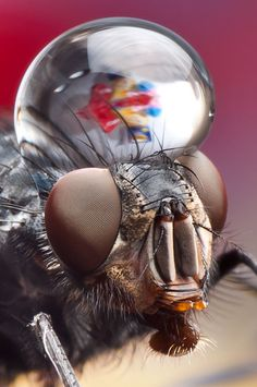 Macro Photos of Insects with Water Droplets on Their Heads. Photographs by Dmitriy Yoav Reinshtein