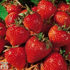 Strawberry 'Cambridge Favourite' (Mid Season) - Strawberry Plants - Thompson & Morgan