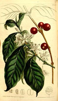 """""""Much has been written upon the effects of Coffee on the constitution, which by some are considered as highly salutary, and by others as very injurious. There is no possibility of reconciling accounts to contrary; but doubtless the effects are various upon different persons."""" Curtis' botanical magazine. v. 31-32 (1810)"""