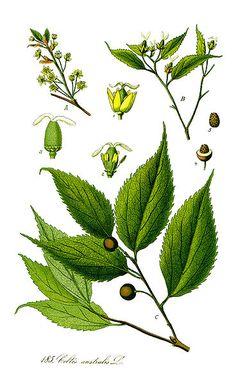 Celtis australis Nettle Tree, European hackberry