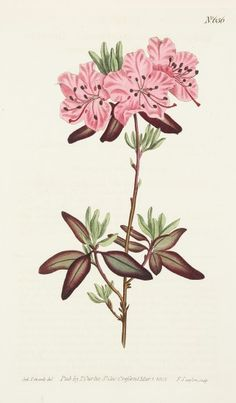 Fine original hand coloured botanical illustration of the Dotted-Leaved Rhododendron.From Curtis's Botanical Magazine: or, Flower-Garden Displayed. Botanical Flowers, Botanical Art, Botanical Illustration, Vintage Botanical Prints, Antique Prints, La Malmaison, Nature Prints, Clematis, Vintage Flowers