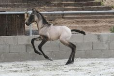 Dun: Grulla: showing face mask, neck shadow, shoulder stripe, and mottling (the dark smudges all over the tops of his legs).  This little guy is *loaded* with Dun Factor!