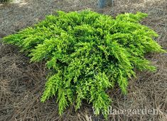 'Daub's Frosted' Juniper. It stays low and has lovely, feathery, peacock-toned foliage. A wonderful addition to any conifer collection.