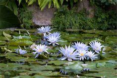 Mirto divino ai Giardini La Mortella - Ischia, Campania