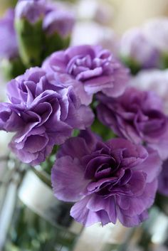 Dianthus caryophyllus- flowers to consider All Flowers, Types Of Flowers, Flowers Nature, My Flower, Purple Flowers, Beautiful Flowers, Edible Flowers, Dianthus Flowers, Dianthus Caryophyllus