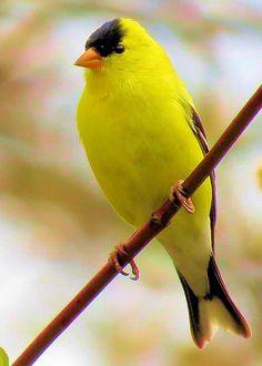 American Goldfinch – Diane Carlson