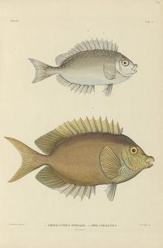 Amphacanthus dorsalis; Amphacanthus corallinus