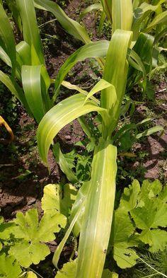 Deficiencia de nutriente en maíz