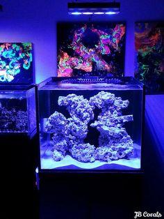 Tank Specs Display: x x 50 gallon SCA Rimless Aquarium Stand: MDF Cabinet with Black Finish Lighting: Aqua Illumination Vega Sump. Coral Reef Aquarium, Aquarium Rocks, Aquarium Stand, Nano Aquarium, Diy Aquarium, Marine Aquarium, Saltwater Fish Tanks, Saltwater Aquarium, Rimless Aquarium