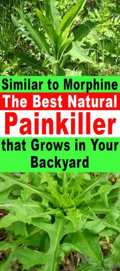 Similar to Morphine | The Best Natural Painkiller that Grows in Your Backyard | Healthy Eon