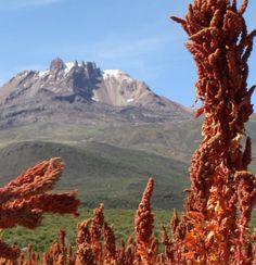 HeirloomSupplySuccess 250 Heirloom Red Quinoa Seeds