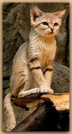Sand Cat (Felis margarita), also known as the sand dune cat, is the only…