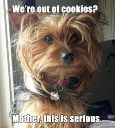 "Lol! | A community of Yorkshire Terrier lovers! Hope you're doing well..From your friends at phoenix dog in home dog training""k9katelynn"" see more about Scottsdale dog training at k9katelynn.com! Pinterest with over 21,700 followers! Google plus with over 435,000 views! You tube with over 500 videos and 60,000 views!! LinkedIn over 11,200  associates! Proudly Serving the valley for 12 plus years! now on instant gram! K9katelynn"