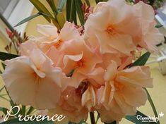 Souvenier de Michel - Nerium oleander - www. Nerium, Provence, Rose, Garden, Luxury, Order Plants Online, Mediterranean Plants, Salmon, Pink