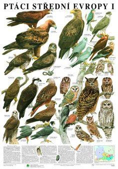 Ptáci střední Evropy I. - nástěnná tabule ( 67x96 cm ) | ALBRA - Prodej a distribuce učebnic