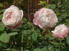 Madame Pierre Oger Bourbon Rose