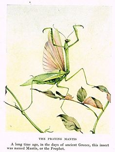"""Fabre's Book of Insects - """"THE PRAYING MANTIS"""" - Lithograph - c1923"""