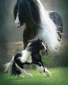 Beautiful Gypsy Vanner. Black Paint! Love that color breed.