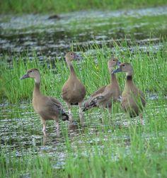 Dendrocygna autumnalis / Pisingo / Black-bellied Whistling-Duck (juveniles) Arauca, Arauca, Colombia